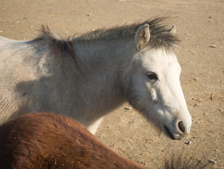 sporades: Image of skirian horses, Skiros, northern Sporades, Greece Stock Photo