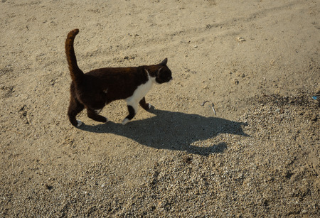 cat island: Cat on sandy beach at Milos island, Greece