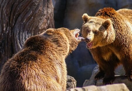Image of two bears talking to each other