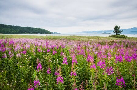 fireweed: Image of a field of fireweed, Lake Baikal, Russia