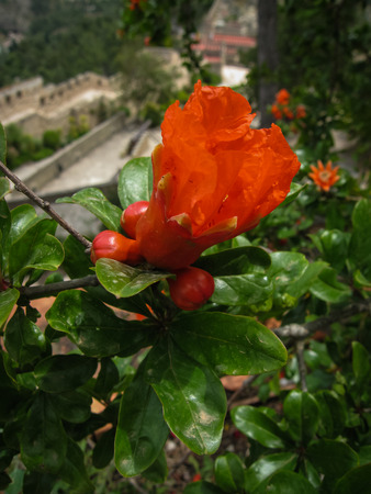 vermeil: Image of beautiful spring Pomegranate flowers, Spain Stock Photo