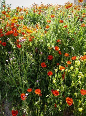 mancha: Image of Spring flowers, poppies, Castilla la Mancha, Spain