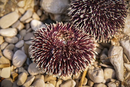 brac: Image of Sea urchin, Bol, Brac, Сroatia