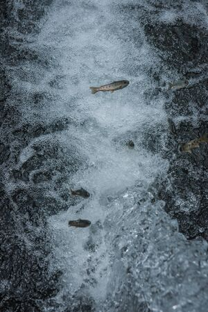 fish husbandry: Image of trout in the stream of water Stock Photo