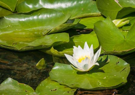 waterlilly: Image of white waterlily, Volga Delta, Russia Stock Photo