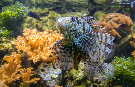firefish: Image of Spotfin lionfish or Broadbarred firefish or Pterois antennata