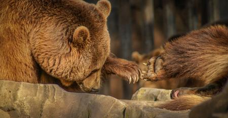 shake off: Image of bears Shaking hands, international relations
