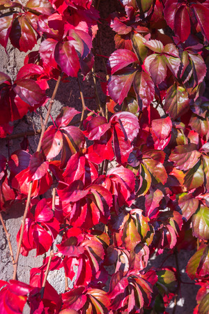 girlish: Image of Autumn leaves, girlish grapes, Greece