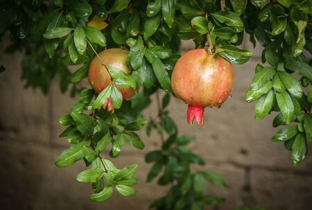 pommegranate: Image of pommegranate fruit on a branch with green leaves