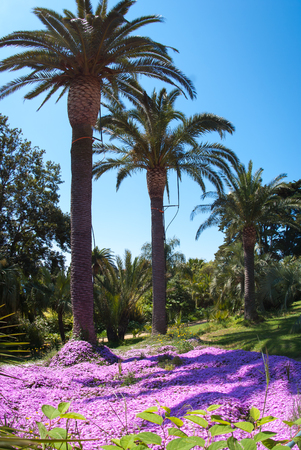 blast off: Image of glade of pink flowers under the palm trees, Marimutra, Catalonia, Spain