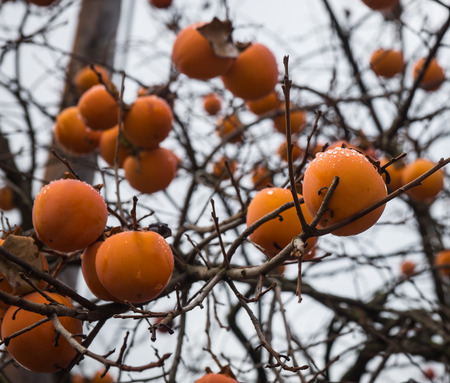 Ripe fresh apple persimmon on a tree branches, Greece