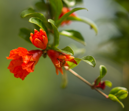 vermeil: Image of beautiful spring Pomegranate flowers, Greece