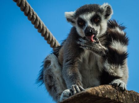 a1ce7bcf860f Lemur Eating Orange Stock Photos And Images - 123RF
