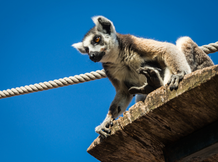 Portrait of lemur with a striped tail sitting on the shelf in Athens, Greece