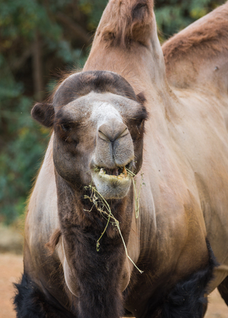Portrait of a large red two-humped camel in natural conditions