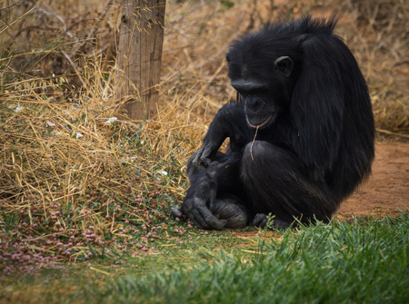 anthropoid: Image of big black chimpanzee sitting on a meadow