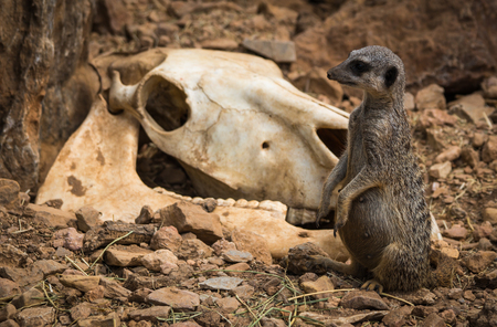 cow skull: Image of little pregnant meerkat  near gnawed cow skull