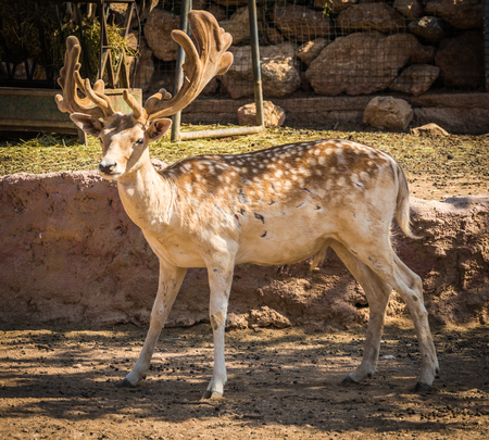 upholstered: Image of sika deer with young upholstered leather horns