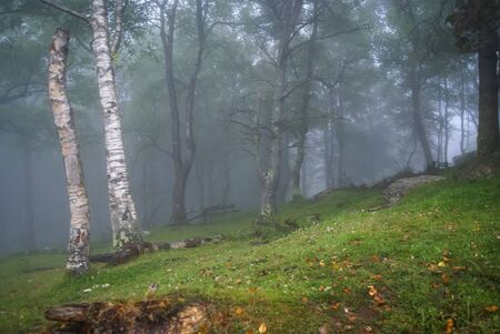european white birch: Image of morning fog in the mountains in a birch forest in Asturias, Spain