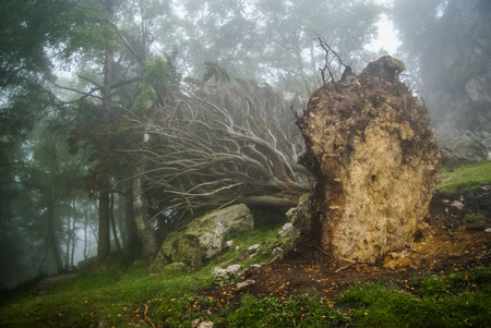 turned out: Tree turned out of the ground by storm in Asturias, Spain
