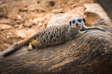 Portrait of a young meerkat lying on a log, Greece