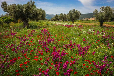 Image of field of colorful spring flowers in Schinias, Greece Stock Photo