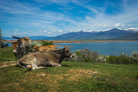 Cows on the island of St. Ahileos at Lake Prespa, Greece