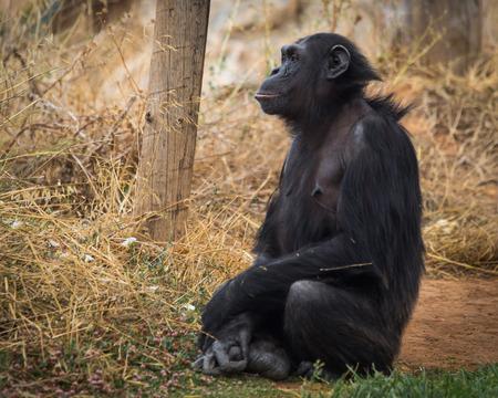 Image of big black chimpanzee sitting on a meadow