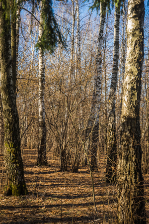 Image of well-conditioned birch forest near Moscow in spring with brown colored ground and blue sky