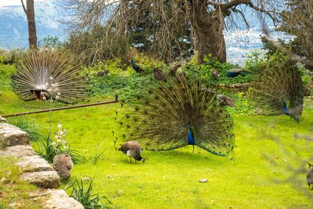 Peacocks walking in the garden at Mount Filerimos on Rhodes island in Greece Stock Photo