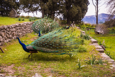 Peacocks walking in the garden at Mount Filerimos on Rhodes island in Greece Stock Photo