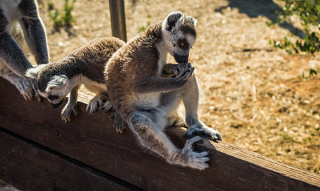 Image of Lemurs with striped tails seating on the  fence in Athens, Greece Stock Photo