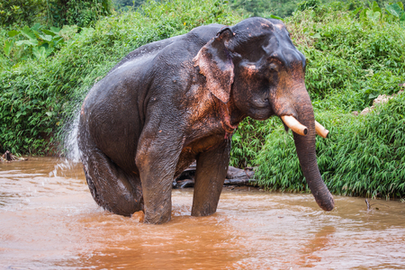 Half turn image of an elefant sitting in mud river in the rain forest of Khao Sok sanctuary, Thailand