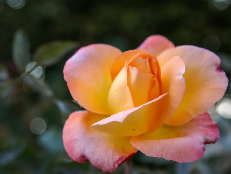 Image of beautiful fresh  rose in Andalusia, Spain