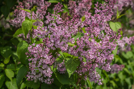 Image of bushes of blooming gently purple lilacs, Moscow parks