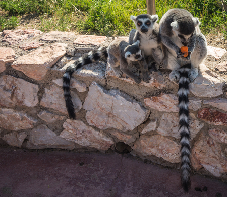 Image of Lemurs eating carrot in Athens, Greece Stock Photo