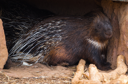 Close up image of large spiny porcupine, Greece Stock Photo