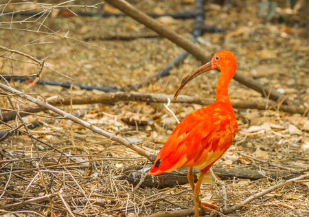 Image of bright scarlet ibis and other birds walking in the park