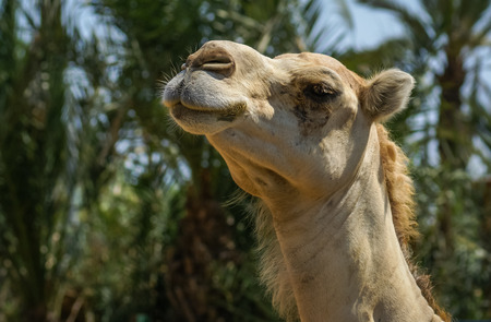 Close up portrait of a big shaggy red camel Stock Photo