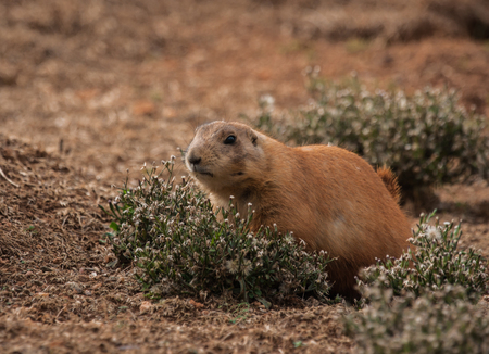 Image of little plump marmots walking on the lawn
