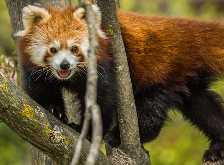 beautiful rare: Closeup portrait of  Red Panda, also called Lesser Panda
