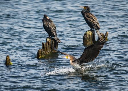 Image of cormorants in  Baltic Gulf in  Kaliningrad Region, Russia Stock Photo