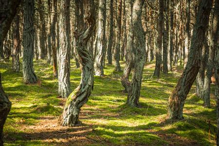 Imagen del bosque bailando en la lengua de Curlandia en la región de Kaliningrado en Rusia Foto de archivo - 87125722
