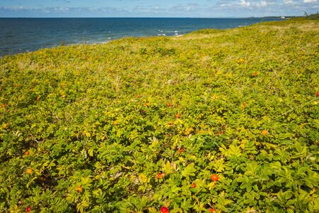 spit: Seascape with wild rose bushes on the Baltic spit in the Kaliningrad region, Russia Stock Photo
