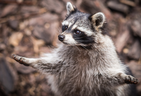 Close up portrait of a pretty ragged raccoon, Russia