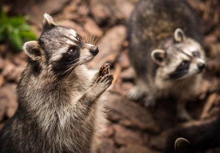 Close up portrait of a pretty ragged raccoon, Russia