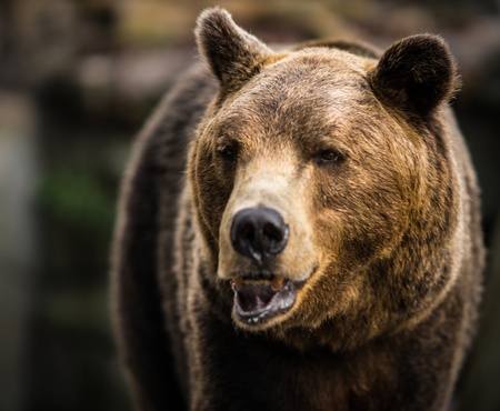 Close up image of  huge brown bear, Russia Stock Photo