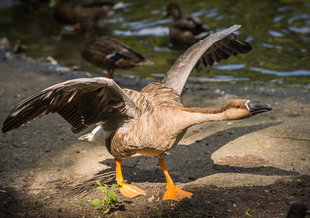 Image of gray goose with wide open wings, Russia Stock Photo