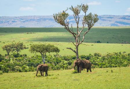 Image of african elephants in Masai Mara in Kenya Stock Photo