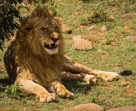 Image of lion king in Masai Mara nature reserve in Kenya
